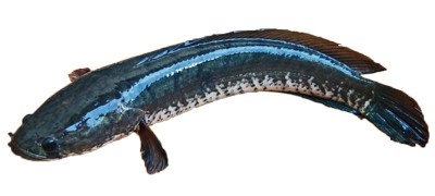 Slankopvis